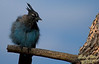 This Stellar Jay came over to see what I was doing; he became the subject once he started grooming (hence the ruffled feathers).