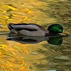 Mallard floating in liquid color