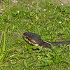 Cottonmouth or water moccasin, (Agkistrodon piscivorus)