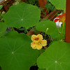 Nasturtiums in the greenhouse P023