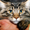 "(072708)--2008_0727--SLM_CatShow-----4-month-old ""Duncan"" a Maine Coon cat rests in palms of his owner's hand. (Owner's Don and Judeth Kitchin of Salem N.H) during the ""Cat Fancier Association""  Summer show at the ICENTER venue in Salem New Hampshire___SUMMER'08.----  DIG IMNo.1535.. SUN/Amanda-Beth Potter"