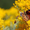 20081018_BUTTERFLY_MONARCH