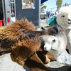 Shaun Walker/The Times-Standard<br /> <br /> Trimmed Huacaya llamas from River House Alpacas in Blue Lake sit in the sun.
