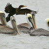 Shaun Walker/The Times-Standard <br /> <br /> Pelicans and cormorants take shelter from the storm in the Arcata Marsh and Wildlife Sanctuary's Klopp Lake on a blustery Thursday afternoon. Both winds and rainfall are expected to fade after Friday.