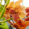 Shaun Walker/The Times-Standard<br /> <br /> A vanda species of orchid grows at the end of the main display table.