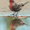 Mud puddle portrait- Purple Finch