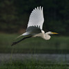 Pond hopping Great Egret!