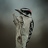 Downy Woodpecker at work