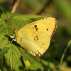 Oranje Luzerne Vlinder / Common Clouded Yellow