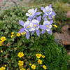 "Aquilegia caerulea is a species of Aquilegia flower native to the Rocky Mountains from Montana south to New Mexico and west to Idaho and Arizona. Its common name is Colorado Blue Columbine; sometimes it is called ""Rocky Mountain Columbine""."