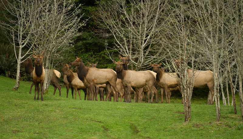 Small herd of elk at Elk Point