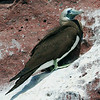 Green-Footed Boobie