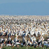 Storks - Yellow-Billed - En Masse
