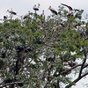 Storks - Yellow-Billed - in a Tree
