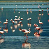 Flamingos Walking on Water