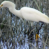 Egret in the Wetlands