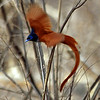 Paradise Flycatcher Flying