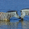 Zebra Baby & Mother in the Water