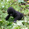 Gorilla Baby Learning to Crawl