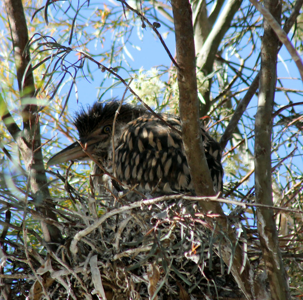 Heron - Night - Chick in a Nest