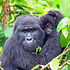 Gorilla Baby & Protective Mother