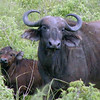 Water Buffalo Baby & Mother