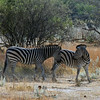 Zebra Mother Nudging Her Baby