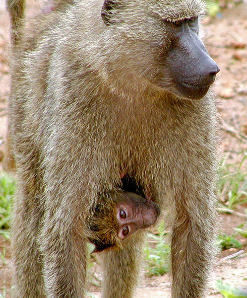 Baboon Mother Carrying Baby
