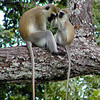 Vervet Monkey Baby Grooming His Mother