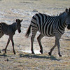 Zebra Mother & Baby Walking