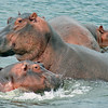 Hippopotamus Babies Swimming with their Mother