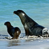 Sea Lion Mother & Baby