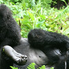 Gorilla Baby on Her Mother