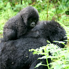 Gorilla Baby Riding on Her Mother