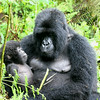 Gorilla Baby Next to His Mother