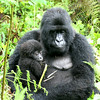 Gorilla Baby Held By His Mother