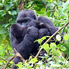 Gorilla Mother Kissing Her Baby