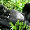 Gorilla Baby Sitting on His Mother