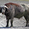 Buffalo - Cape or African in the Mud