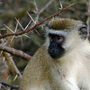 Monkey - Vervet in the Thorns