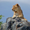 Lion on a Rock