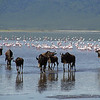 Wildebeests With Flamingos