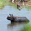 Rhinoceros in the Water