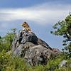 Lion on a Kopje