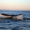 Gray Whale Fluke in the Sunset