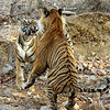 Tiger Foreplay