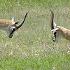 Thomson's Gazelles Fighting
