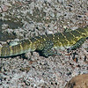 Lizard - Nile Monitor