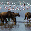 Wildebeests & Flamingos