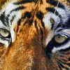 Looking Into the Eyes of a Tigress